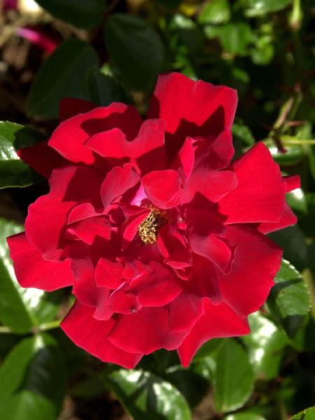Blüte der Rose Mainaufeuer