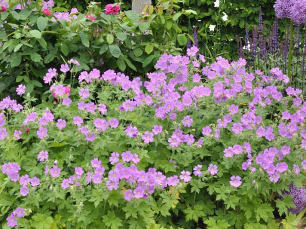 Geranium gracile 'Sirak', Storchschnabel