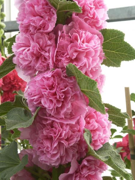 Alcea rosea 'Pleniflora' rosa (M), Stockrose, gefüllte Stockmalve