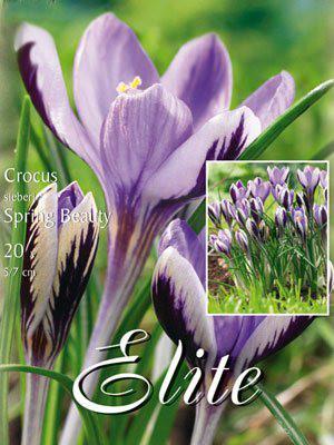 Frühjahrsblühender Krokus 'Spring Beauty' (Art.Nr. 596225)