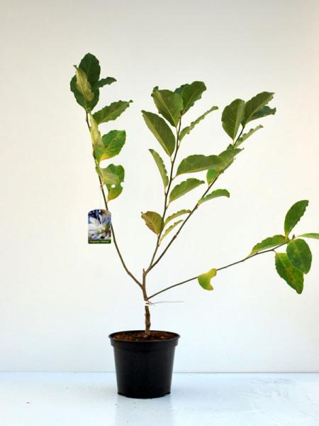 Magnolia loebneri 'Wildcat', Magnolie