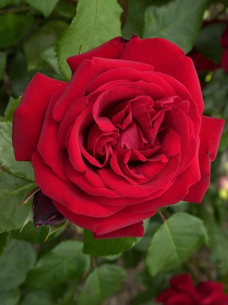 Blüte der Rose Ulmer Münster