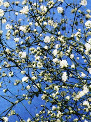 Gypsophila paniculata (M), Schleierkraut