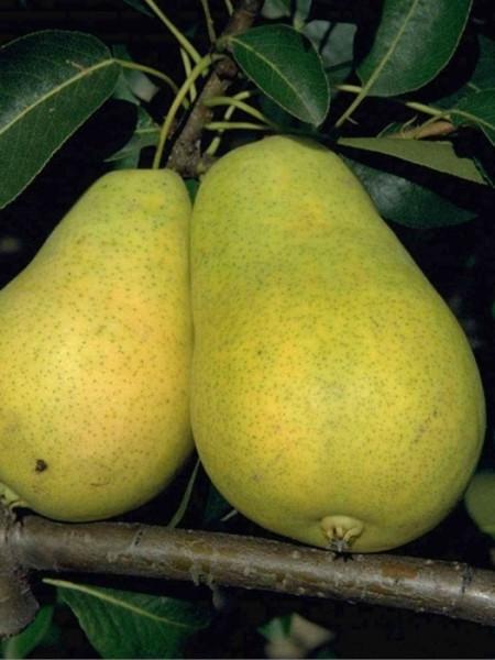 Birne Frühe aus Trévoux
