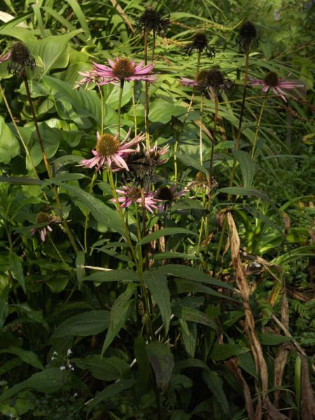 Echinacea purpurea 'Pica Bella', Scheinsonnenhut