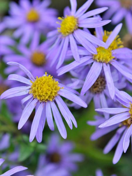 Aster amellus 'Blütendecke', Bergaster, Amellusaster