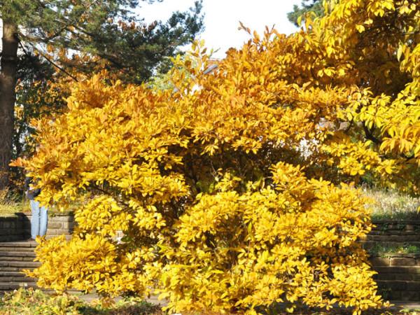 Sternmagnolie Herbst
