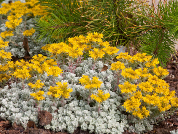 Sedum spathulifolium 'Cape Blanco', Silberspatel-Fettblatt, spatelblättriges Garten-Fettblatt