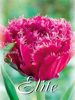 Gefüllte gefranste Tulpe 'Mascotte' (Art.Nr. 595536)