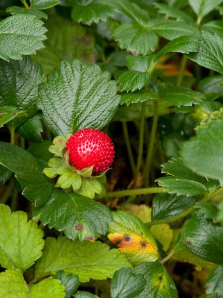 Blatt und Blüte der Ziererdbeere 'Chaval'