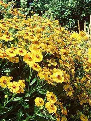 Helenium x hybrida 'Goldrausch' (M), Garten-Sonnenbraut
