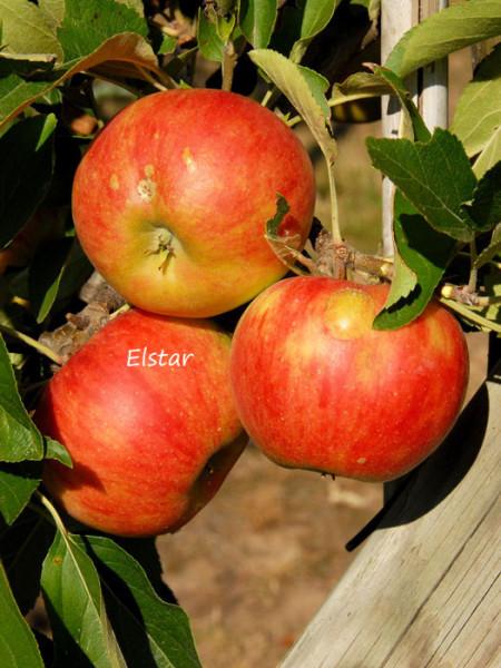 Duo-Apfelbaum - Jonagold und Elstar