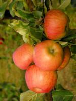 Apfel Topaz (S)