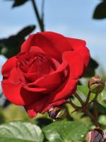 Rose Santana ® - Tantau