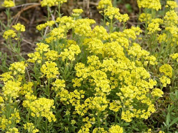 Alyssum montanum 'Berggold', Steinkraut, Steinkresse, Bergsteinkraut