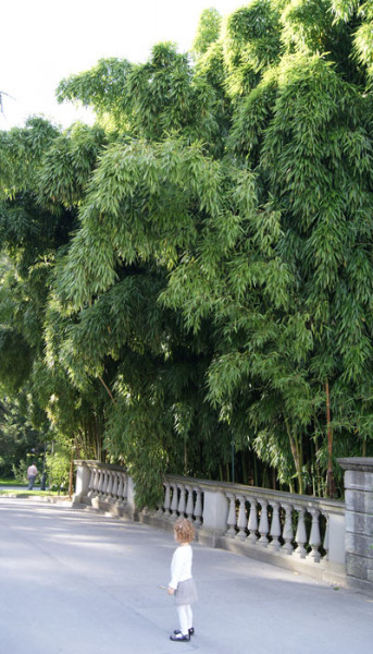 Phyllostachys viridiglaucescens, Grüner Pulver Bambus