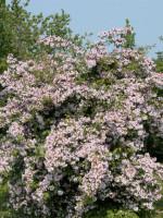 Kolkwitzia amabilis, Kolkwitzie, Perlmuttstrauch