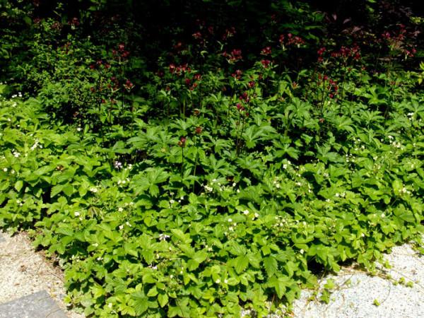 Walderdbeere, Fragaria vesca