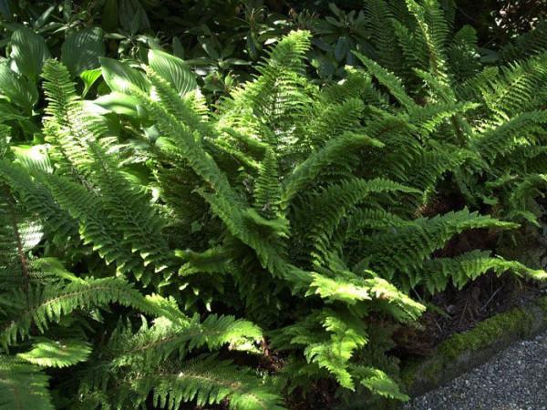 Polystichum setiferum 'Plumosum Densum', Flaumfeder Filigranfarn