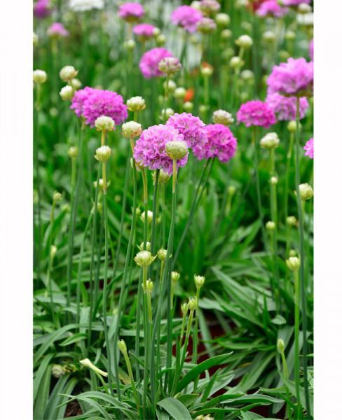 Armeria pseudarmeria 'Purple Rose', Grasnelke