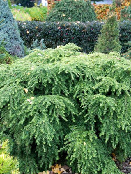 Solitärpflanze von Tsuga canadensis Jeddeloh