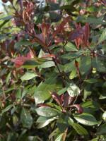 Photinia fraseri 'Red Robin', immergrüne rote Glanzmispel