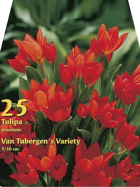 Tulpe praestans 'Tubergens Varietät' (Großpackung) (Art.Nr. 597850)