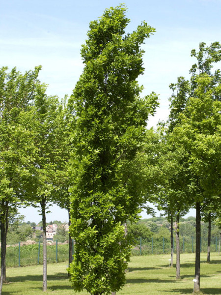 Quercus robur 'Fastigiata Koster', Säuleneiche - XXL-Produkt