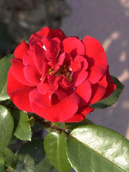 Blüte der Rose Gruß an Bayern