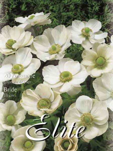 Anemone De Caen 'The Bride' (Art.Nr. 596428)