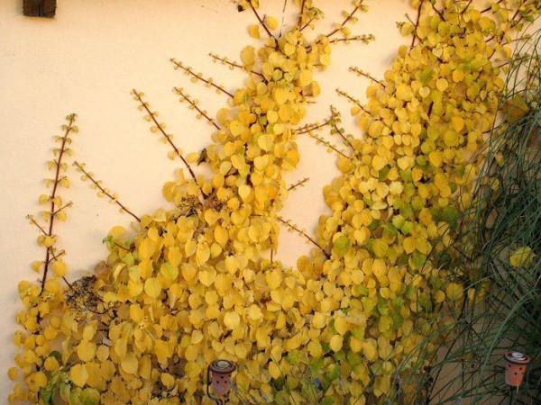 Die gelbe Herbstfärbung der Kletterhortensie