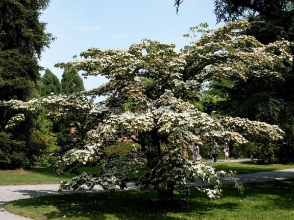 Wuchsform des Japanischen Blumenhartriegels