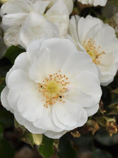 Blühende Rose Schneeflocke