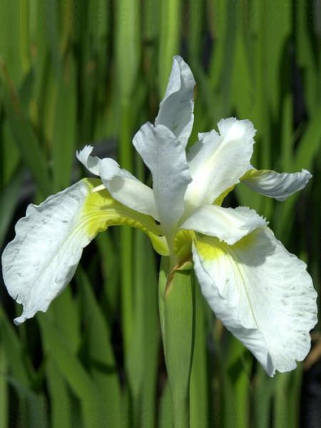 Iris sibirica 'White Swirl', Wiesen-Iris, Wiesen-Schwertlilie