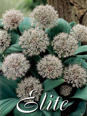 Allium 'Karataviense' (Art.Nr. 596316)