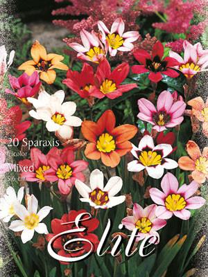 Zigeunerblume-Prachtmischung, Sparaxis tricolor (Art.Nr. 597354)