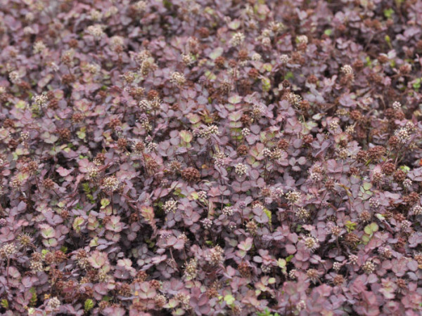 Bodendeckung mit dem Stachelnüsschen'Kupferteppich'