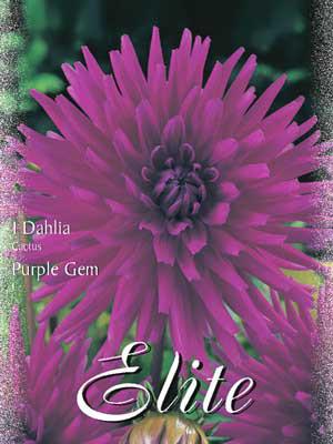 Kaktus-Dahlie 'Purple Gem', Dahlia (Art.Nr. 520080)