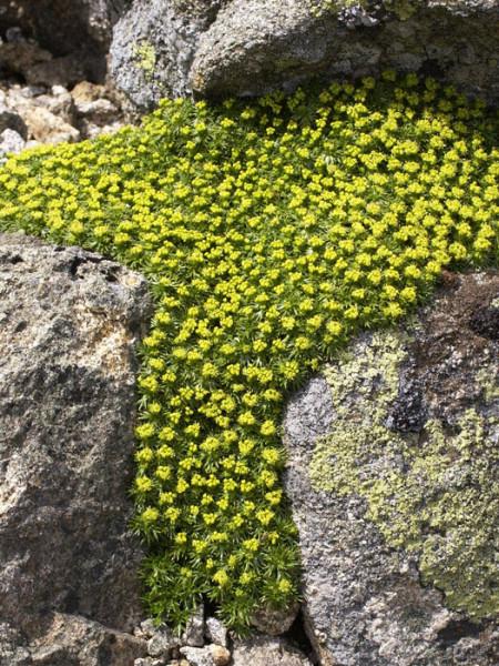Azorella trifurcata, Andenpolster