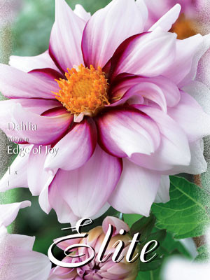 Mignon-Dahlie 'Edge of Joy', Dahlia (Art.Nr. 520558)