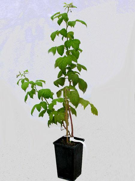 Herbsthimbeere 'Aroma Queen' ®