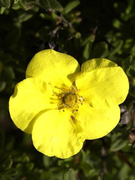 Hachmanns Gigant Blüte