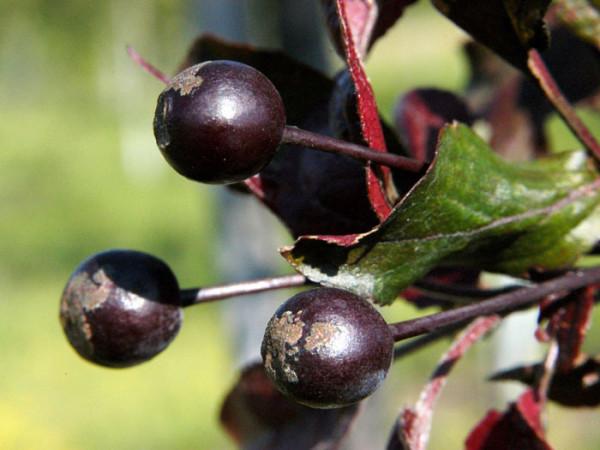 Rotblättriger Zierapfel Nicoline Frucht