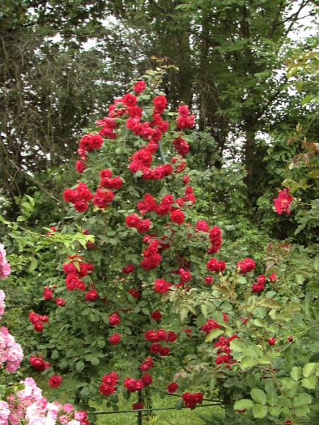 Strauch der Rose Pauls Scarlet Climber