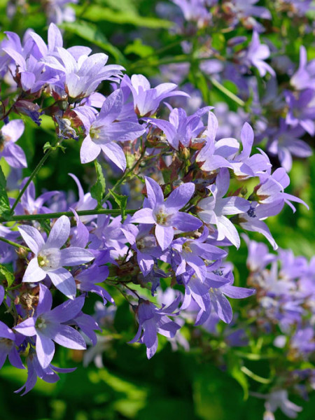 Campanula lactiflora 'Prichard', Große Doldenglockenblume, Gartenglockenblume