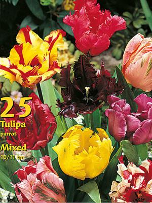 Papagei-Tulpen-Prachtmischung (Großpackung) (Art.Nr. 597694)
