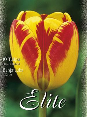 Darwin-Hybrid-Tulpe 'Banja Luka' (Art.Nr. 595298)