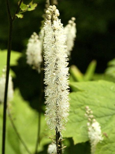 Cimicifuga racemosa var. cordifolia, Silberkerze, Julisilberkerze, Lanzensilberkerze