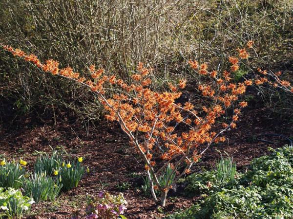 Der Strauch während der Blütezeit