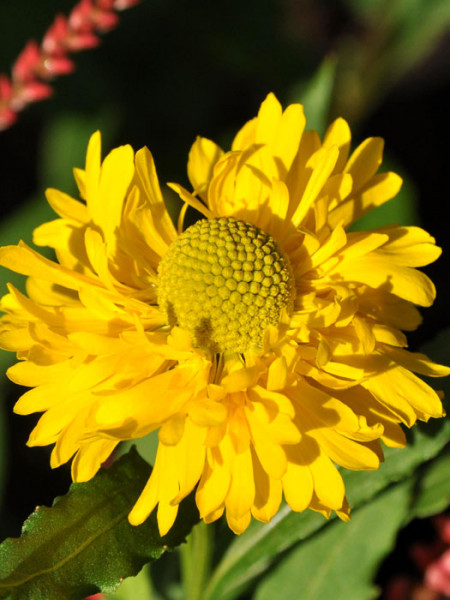 Helenium x cultorum 'Double Trouble', Garten-Sonnenbraut